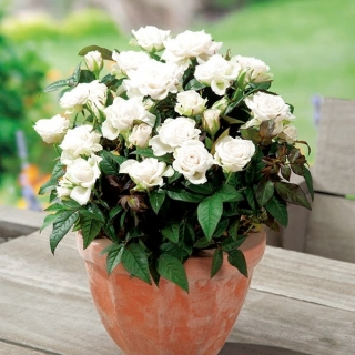 Róża miniaturowa - White, Alba Meidiland - sadzonka