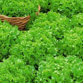 Sałata Salad Bowl - liściowa, zielona, dębolistna