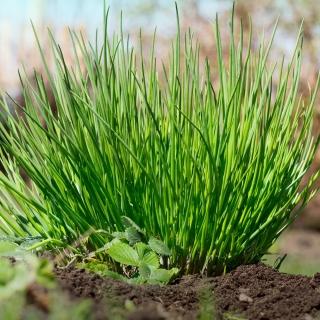 BIO Szczypiorek Medium leaf - Certyfikowane nasiona ekologiczne