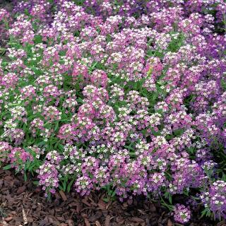 Smagliczka nadmorska liliowofioletowa