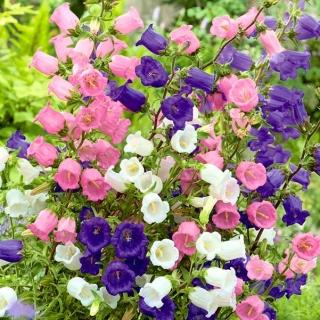 Dzwonek ogrodowy Medium - mieszany