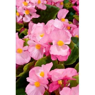 Begonia Papillon Rose - stale kwitnąca, jasnoróżowa, odmiana zielonolistna