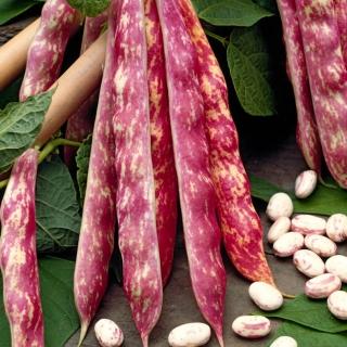 Fasola Borlotto rosso - zwykła, karłowa, na suche nasiona - kolorowy strąk i nasiona