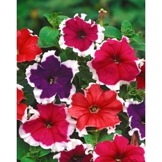 Petunia o kwiatach białoobrzeżonych