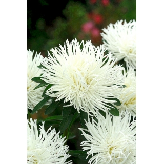 Aster igiełkowy - biały