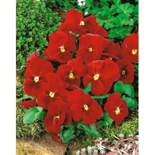 Bratek wielkokwiatowy - czerwony