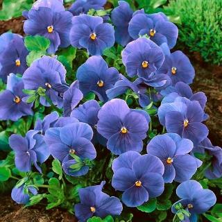 Bratek wielkokwiatowy - niebieski Celestial Blue