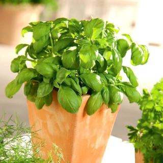 Mini ogród - Bazylia zielona - do uprawy na balkonach i tarasach
