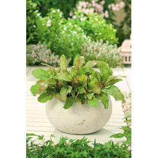 Mini ogród - Burak na ciete listki - do uprawy na balkonach i tarasach
