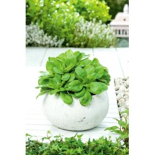 Mini ogród - Roszponka warzywna - do uprawy na balkonach i tarasach
