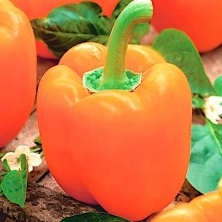 Papryka Etiuda - słodka pomarańczowa