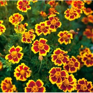 Aksamitka Marietta - rozpierzchła - jadalne kwiaty!