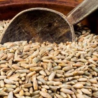 BIO Nasiona na kiełki - Żyto - certyfikowane nasiona ekologiczne