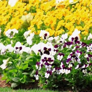 Fiołek rogaty + bratki - zestaw 3 gatunków nasion kwiatów