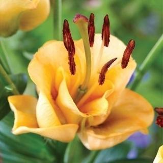 Lilia azjatycka - Apricot Fudge