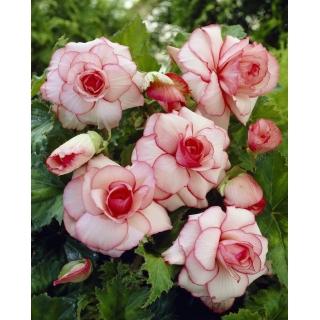 Begonia - Picotee White - biało-różowa - 2 szt.