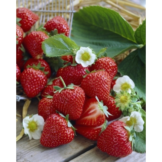Truskawka Vibrant - bardzo wczesna i smaczna - 100 sadzonek XL