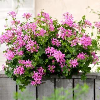 Pelargonia bluszczolistna Fuchsia F1 - fioletowa
