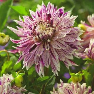 Dalia - Avignon - kwiaty XL