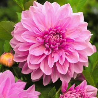 Dalia - Lavender Perfection - kwiaty XL