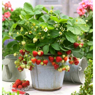 Truskawka wczesna o dużych owocach - Honeoye - 100 sadzonek XL