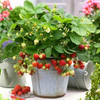 Truskawka Honeoye - wczesna o dużych owocach - 20 sadzonek XL