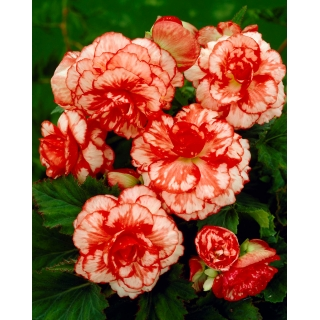Begonia - Marmorata - czerwono-biała - 2 szt.