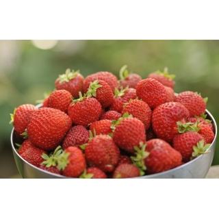 Truskawka Honeoye - wczesna o dużych owocach - 100 sadzonek