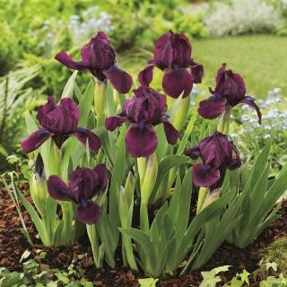 Irys niski, Iris pumila - Fioletowy - Cherry Garden