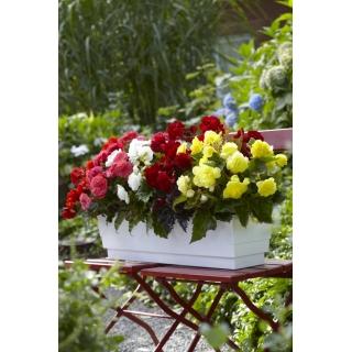 Begonia wielokwiatowa - Multiflora Maxima - mix kolorów - 2 szt.