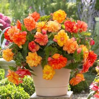 Begonia - Golden Balcony - kwiaty o ciepłych odcieniach - 2 szt