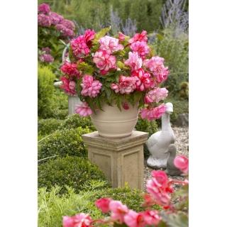 Begonia - Pink Balcony - kwiaty w odcieniach różu - 2 szt.