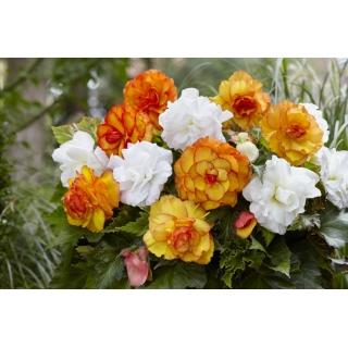 Kompozycja begonii pełnych - żółto-pomarańczowa i biała - 8 szt.