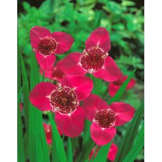 Tygrysówka różowa - Pink - 10 szt.