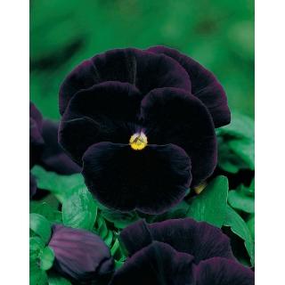 Bratek wielkokwiatowy - czarny Black King