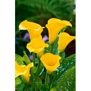 Calla żółta - Yellow
