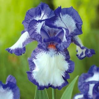 Kosaciec, Irys - Blue and White