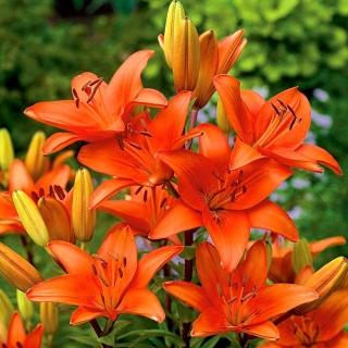 Lilia azjatycka pomarańczowa - Orange
