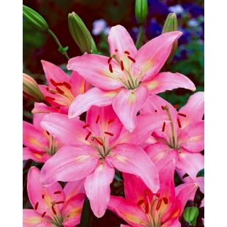 Lilia azjatycka różowa - Pink