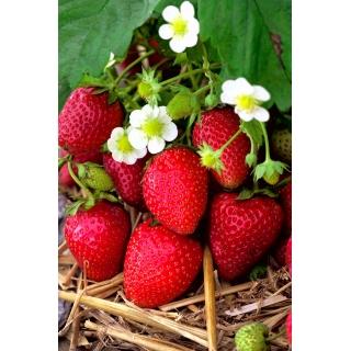 Truskawka   - wczesna, intensywnie czerwona - 100 sadzonek XL