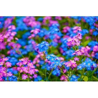 Niezapominajka alpejska różowa i niebieska - zestaw 2 odmian nasion