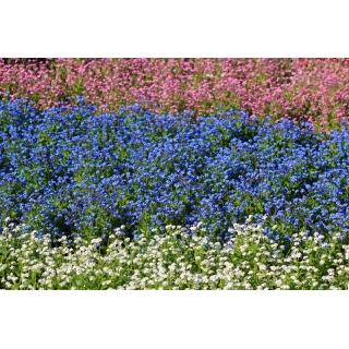 Niezapominajka biała, niebieska i różowa - zestaw 3 odmian nasion