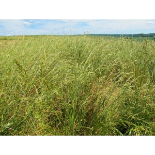 Kostrzewa łąkowa Pasja - 5 kg