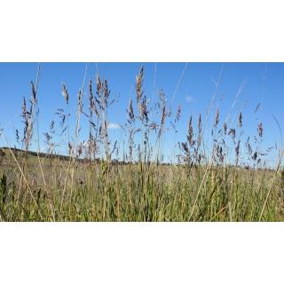 Wiechlina łąkowa pastewna Balin - 5 kg