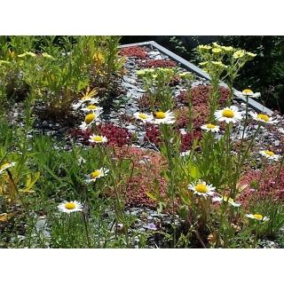 Mieszanka na dachy - rośliny jednoroczne i wieloletnie