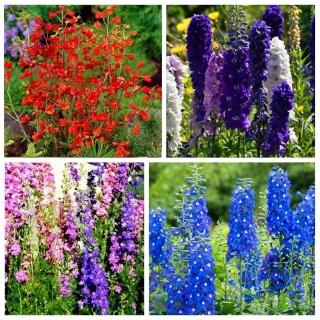 Ostróżka - zestaw 4 odmian nasion kwiatów