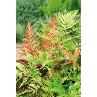 Paproć ogrodowa - Brillance Autumn - sadzonka