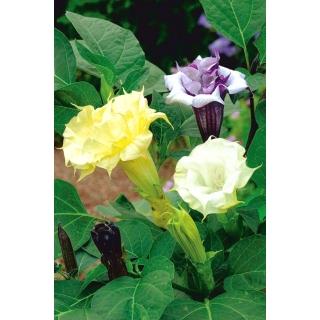 Bieluń surmikwiat o kwiatach pełnych