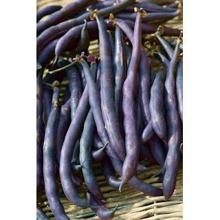 Fasola Purple Teepee - szparagowa, karłowa
