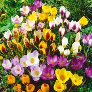 Zestaw 10 - Krokus wielkokwiatowy - mieszanka najlepszych odmian - 100 szt. + 10 szt. GRATIS